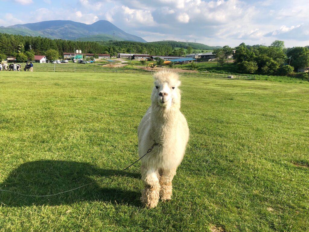 Friendly alpaca
