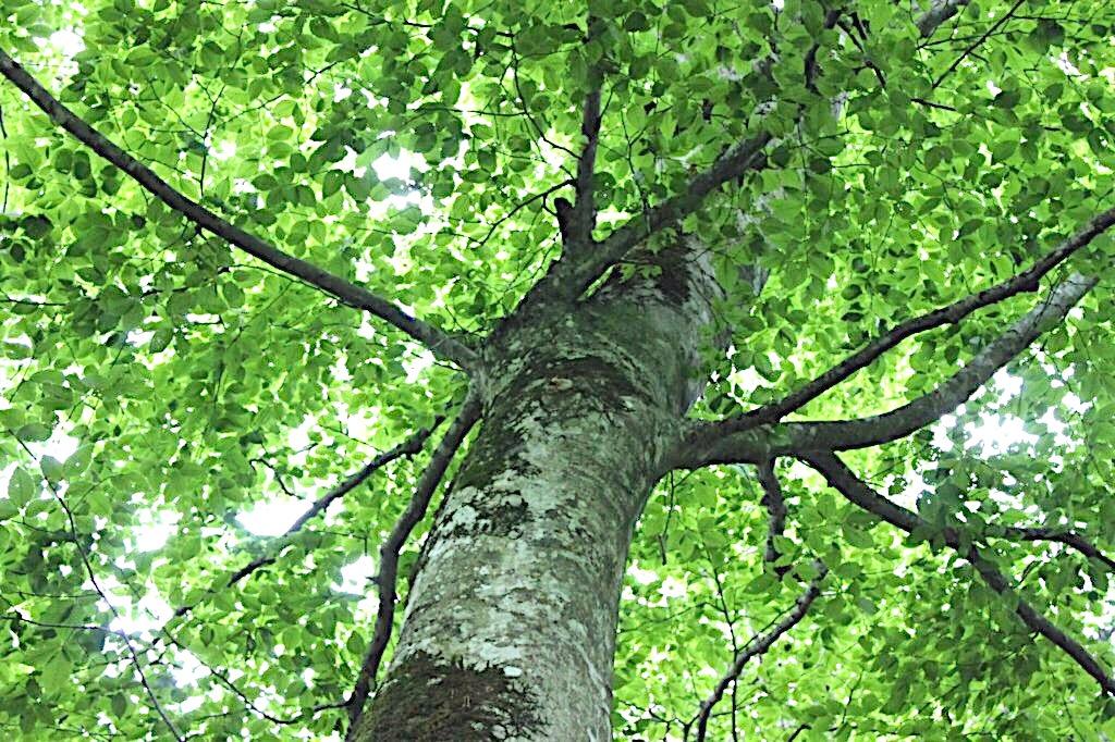 A beech tree