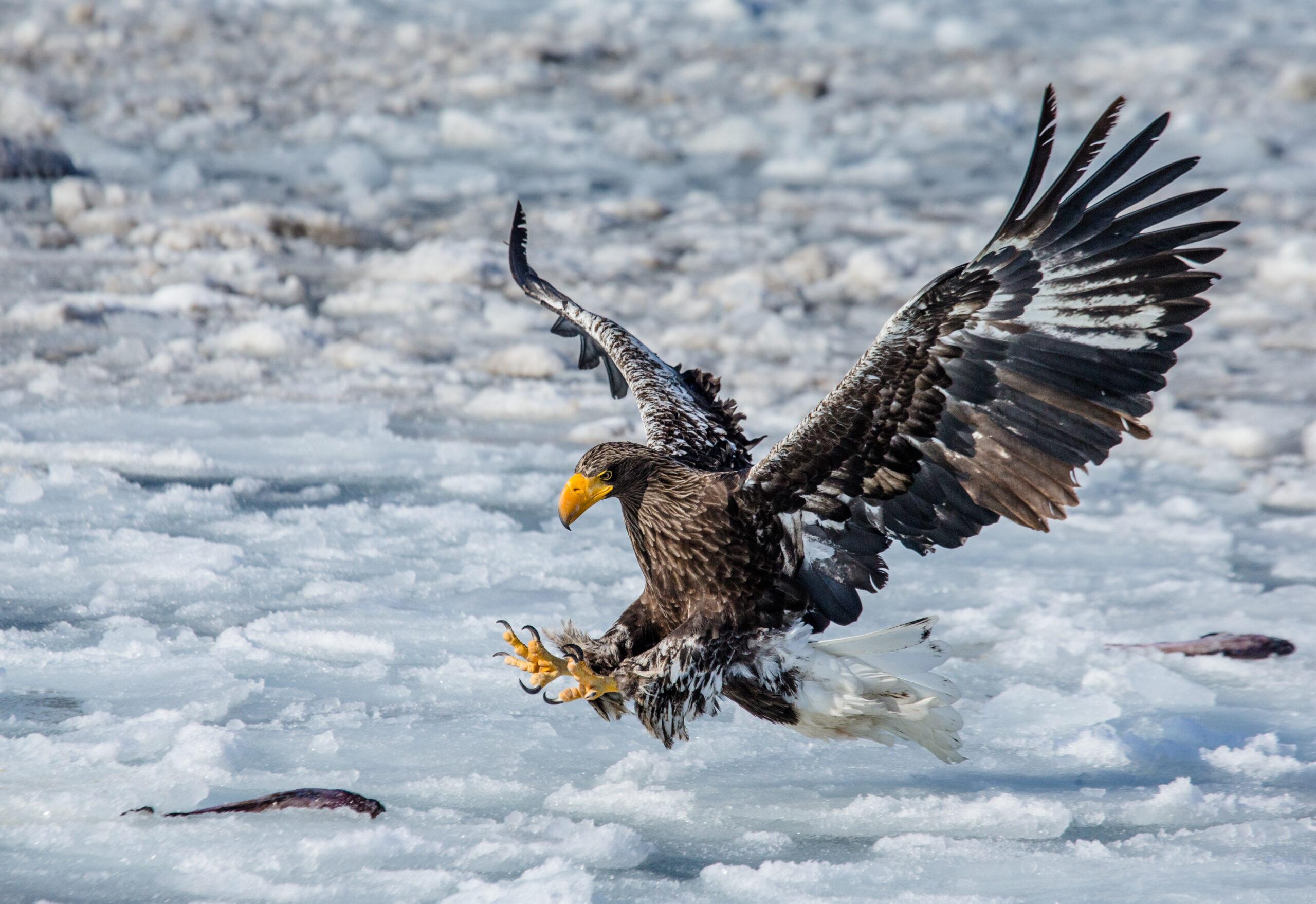 Shiretoko eagle