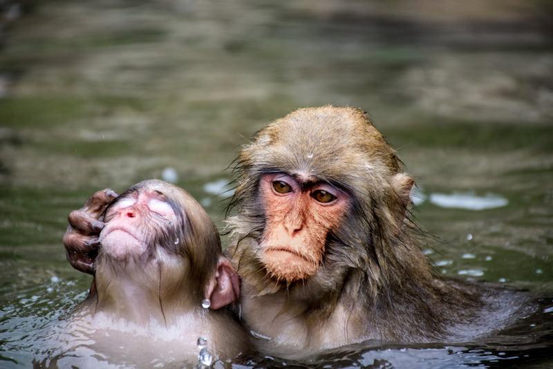 Monkeys in a hot spring